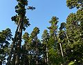 Forest Pelister.jpg