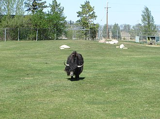 Forestry Farm Park and Zoo - Yak