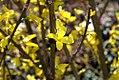 Forsythia spectabilis Lynwood Gold 0zz.jpg