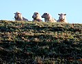 Four Sheep at Dogbury Gate - geograph.org.uk - 1120420.jpg