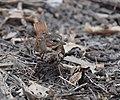 Fox Sparrow (32516897403).jpg