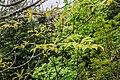 Franklinia alatamaha in Hackfalls Arboretum (3).jpg