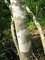 Fraxinus sieboldiana 2.JPG