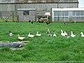 Free-range Poultry Enclosure at West Burnend - geograph.org.uk - 470231.jpg