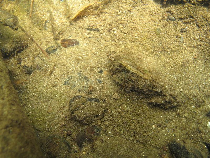 File:Freshwater mussel on the stream bottom (5940634316).jpg