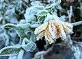Frozen marigold (23126015844).jpg