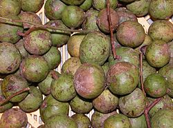 Fruits of Dracontomelon duperreanum.JPG