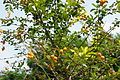 Fruits on a tree in.JPG