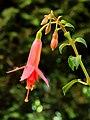 Fuchsia 'Menna'.JPG