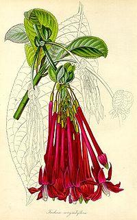 Fuchsia corymbiflora - Paxton