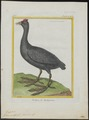 Fulica cristata - 1700-1880 - Print - Iconographia Zoologica - Special Collections University of Amsterdam - UBA01 IZ17500235.tif
