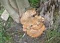 Fungi in All Saints Graveyard - Church Hill - geograph.org.uk - 1359654.jpg
