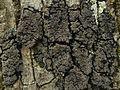 Fuscopannaria leucosticta - Flickr - pellaea.jpg