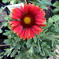 Gaillardia-arizona-red-shades-3722.jpg