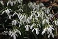 Galanthus nivalis, Suchet - img 32827.jpg