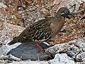 Galapagos Dove RWD1.jpg