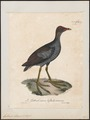 Gallinula chloropus - 1825-1834 - Print - Iconographia Zoologica - Special Collections University of Amsterdam - UBA01 IZ17500195.tif
