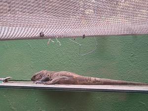 El Hierro giant lizard - A giant lizard walking