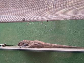 El Hierro - El Hierro giant lizard