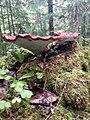 Ganoderma lucidum 88318240.jpg