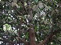 Garcinia xanthochymus (7090294215).jpg