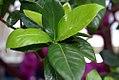 Gardenia jasminoides 7zz.jpg