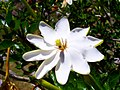 Gardenia thunbergia385207587.jpg