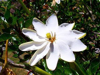 <i>Gardenia thunbergia</i> African tree species
