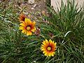 Gazania ¿ species ? (6367384359).jpg