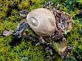 Geastrum saccatum 111495023.jpg