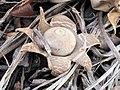 Geastrum saccatum 13086525.jpg