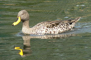 Anas - Yellow-billed duck, Anas undulata
