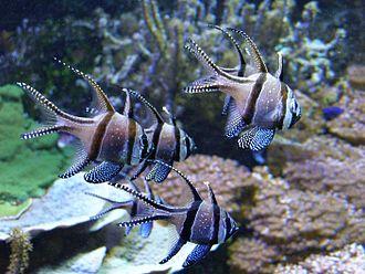 Aquarium of Genoa - Banggai cardinalfish