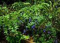 Gentiana asclepiadea - Flickr - peganum.jpg