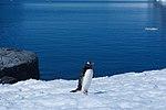Gentoo Penguin in Antarctica.jpg