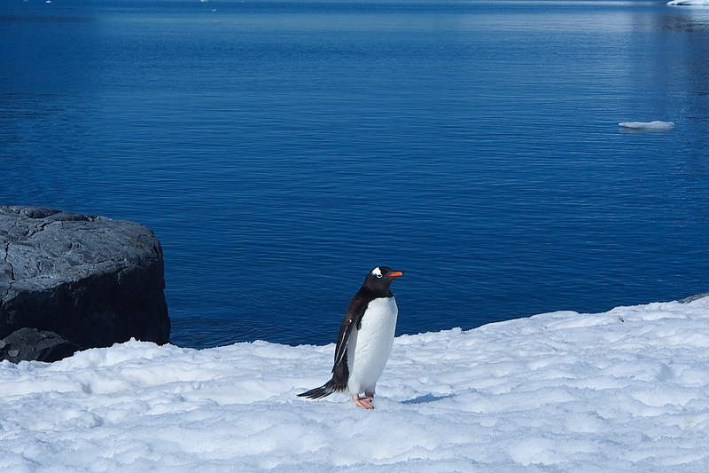File:Gentoo Penguin in Antarctica.jpg