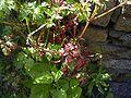GeraniumRobertianum-blad-hr.jpg