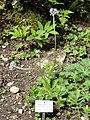Geum elatum - Botanischer Garten München-Nymphenburg - DSC07610.JPG