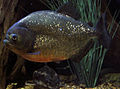 Gfp-vicious-red-bellied-piranha.jpg