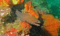 Giant Moray (Gymnothorax javanicus) (6093884522).jpg