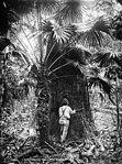 Giant turpentine tree (2363506538).jpg