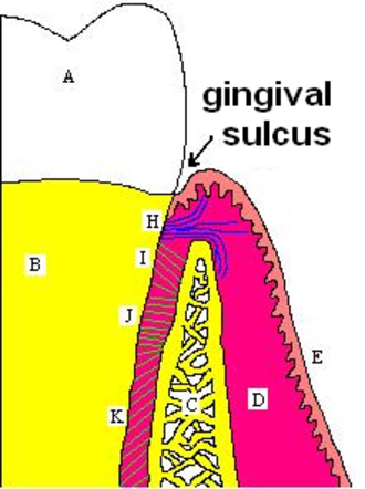 Sulcus (morphology) - Gingival sulcus at neck of mammalian tooth