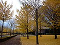 Ginko leaves at AIST - panoramio.jpg
