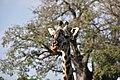 Giraffe, Tarangire National Park (25) (28640535691).jpg