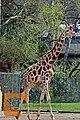 Giraffe (32921652944).jpg