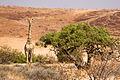 Giraffe (3690390262).jpg