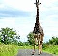 Giraffe (Giraffa camelopardalis) male ... (51163339503).jpg