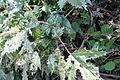 Girardinia diversifolia.jpg