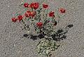 Glauicium - Horned poppies 02.jpg