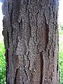 Gleditsia triacanthos Textura del tronco.jpg